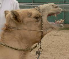 Photo of أمانة مكة تتخذ إجراءات فورية ضدّ المتورطين بفيديو تعذيب الإبل