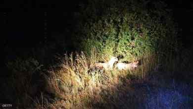 Photo of حيوانات تتحول إلى الحياة الليلية.. تعرف على السبب