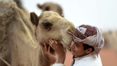 "Photo of الأمريكيون متعطشون لـ""لبن الإبل"" السعودي"