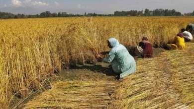 Photo of مصر تدخل قائمة مستوردي الأرز لأول مرة