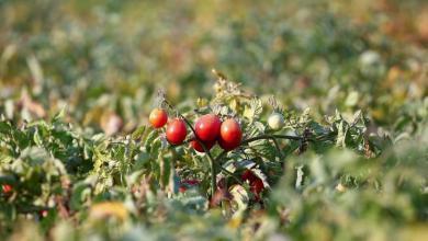 Photo of الطماطم كنز من الفوائد الصحية.. تعرف عليه