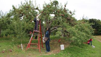Photo of ثلاث تفاحات غيّرت العالم: قصص سحريّة من آدم إلى نيوتن فجوبز