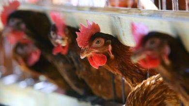Photo of كيف اجتمعت دجاجات على قتل ثعلب؟