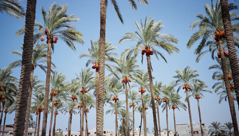 The date palms of Deir al-Balah, from the Fast Times in Palestine blog: http://fasttimesinpalestine.wordpress.com/2011/02/03/gaza-holiday/