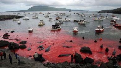 Photo of تقليد سنوي لجزر فارو في شمال الأطلسي: مذبحة لعشرات الحيتان