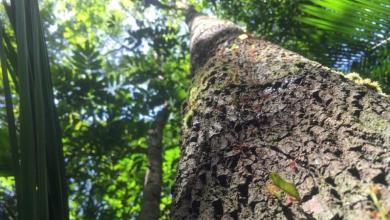 Photo of نجاة أطول شجرة في غابة الأمازون من الحرائق