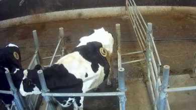 Photo of فرنسا تحقق مع شركة لإنتاج الألبان بسبب العنف ضد الحيوانات
