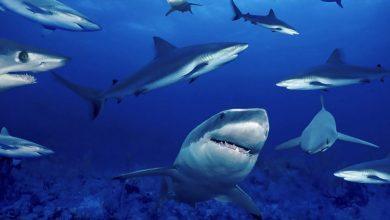 Photo of الولايات المتحدة الأكثر تعرضًا لهجمات أسماك القرش
