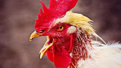 Photo of لماذا حظرت الإمارات استيراد الطيور من ولاية كارولينا الجنوبية؟