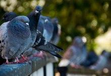 صورة مقال – طيور الحمام قادرة على الحساب