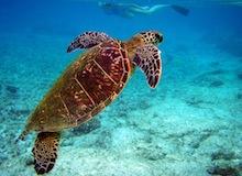 ما تفعله السلاحف الخضراء في غيابنا