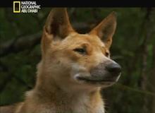 كلاب الدينغو الاسترالية