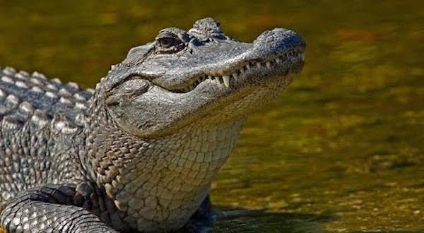 ملفات القضية البرية : التمساح الصادم