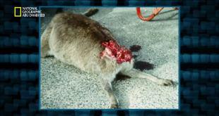ملفات القضية البرية HD : نمر تاسمانيا الارهابي