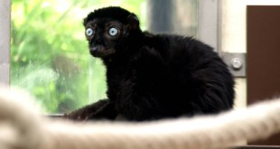 تعرّف على الليمور الأسود المهدّد بالإنقراض