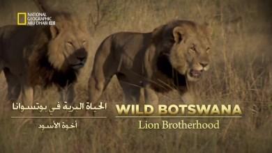 خاص : الأسود HD الحياة البرية في بوتسوانا - أخوّة الأسود