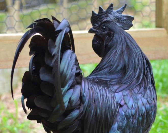 دجاج لامبورغيني
