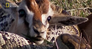 حيوانات باتت جامحة HD : صدقوا أو لا تصدقوا