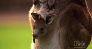 مقتطف - عجائب المخلوقات : الكنغر