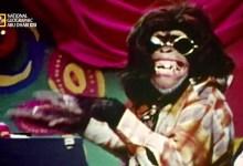 حيوانات باتت جامحة HD : هجوم الشمبانزي