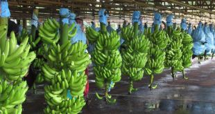 """مقتطف - شاهد كيف تتم عميلة حصاد الموز و تعليبه في """"كوستاريكا""""!"""