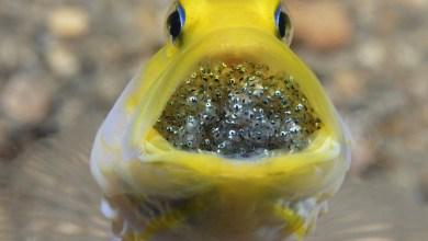شاهد..كيف يضحي ذكر السمك للحفاظ على حياة أبنائه!!