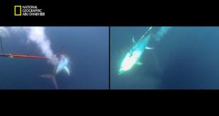 سمكة التونة العنيدة HD : مطلوب المساعدة
