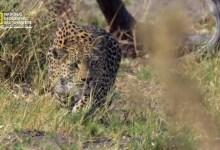 صورة المملكة المتوحشة ح1: صخرة الفهد