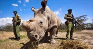 مقال : حيلة علمية لإنقاذ وحيد القرن الأبيض من الانقراض