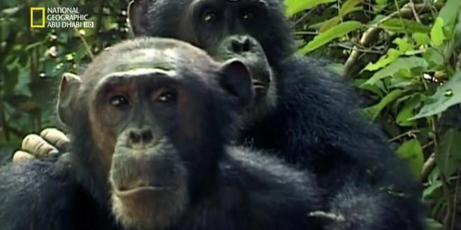 مملكة القرود ح1 : صراع الإخوة