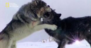 نادي قتال الحيوانات موسم 3 ح5 : حرب العصابات