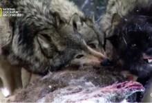 صورة نادي قتال الحيوانات موسم 3 ح6 : مواجهات خطيرة