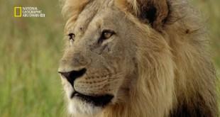 خاص : القطط الكبيرة – صراع من أجل الكبرياء
