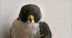 مترجم - أسرع طائر على جه الأرض World Fastest Animal