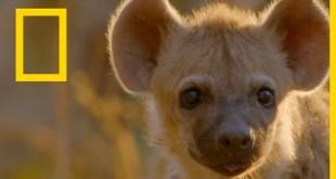 حيوانات أفريقيا المفترسة : قائدة الضباع