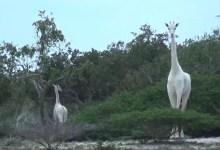 صيادون يقتلون الزرافة البيضاء الوحيدة في العالم