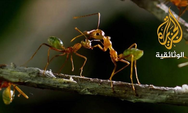 جبل النمل