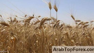صورة بعد سنوات من فقدانها.. تونس تسترجع بذورها المقاومة للجفاف