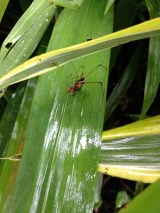 Harvestman showing down