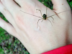 Oh hello little Harvestman