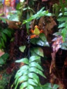 Eriophora at La Selva Biological Station