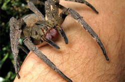 giant-spiders-141021-brazilian-wandering-2