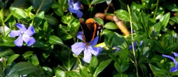 Red Admiral Butterfly Photograph