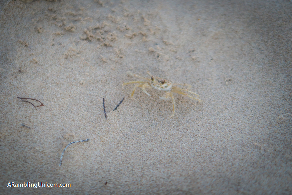 A tiny crab about the same color as the sand.