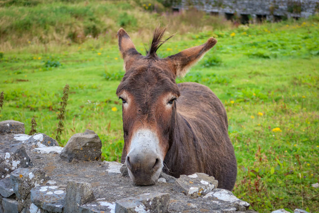 A donkey stands with his head perched over a low stone fence, begging for handouts