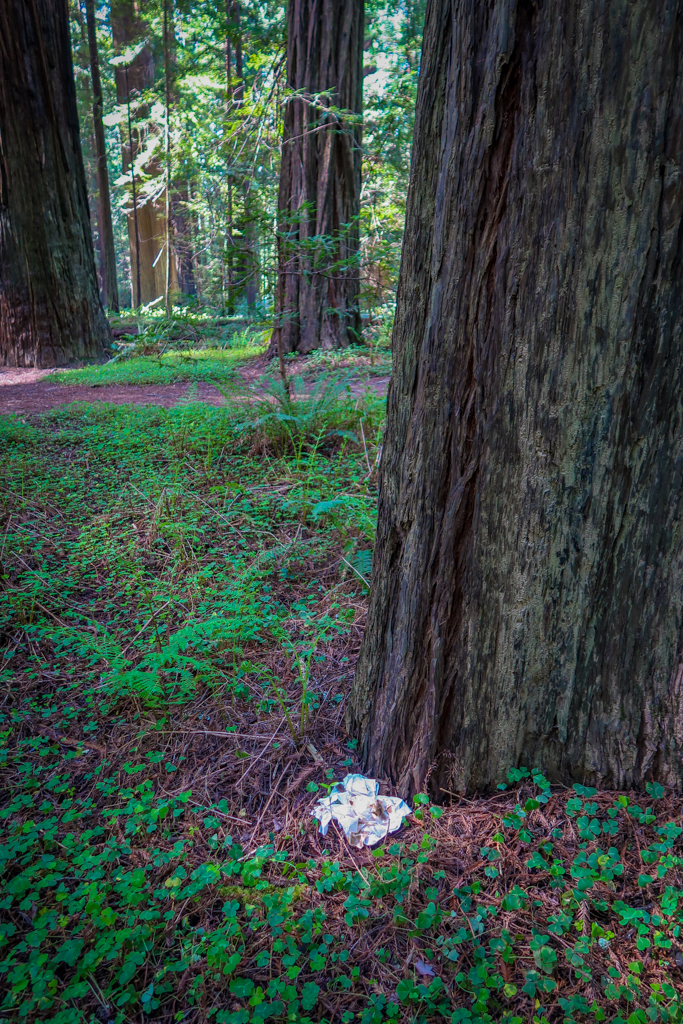 How not to pee outside: a pile of toilet paper sits on the ground next to a protected Redwood tree.