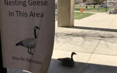 Through the Lens: Geese on Guard