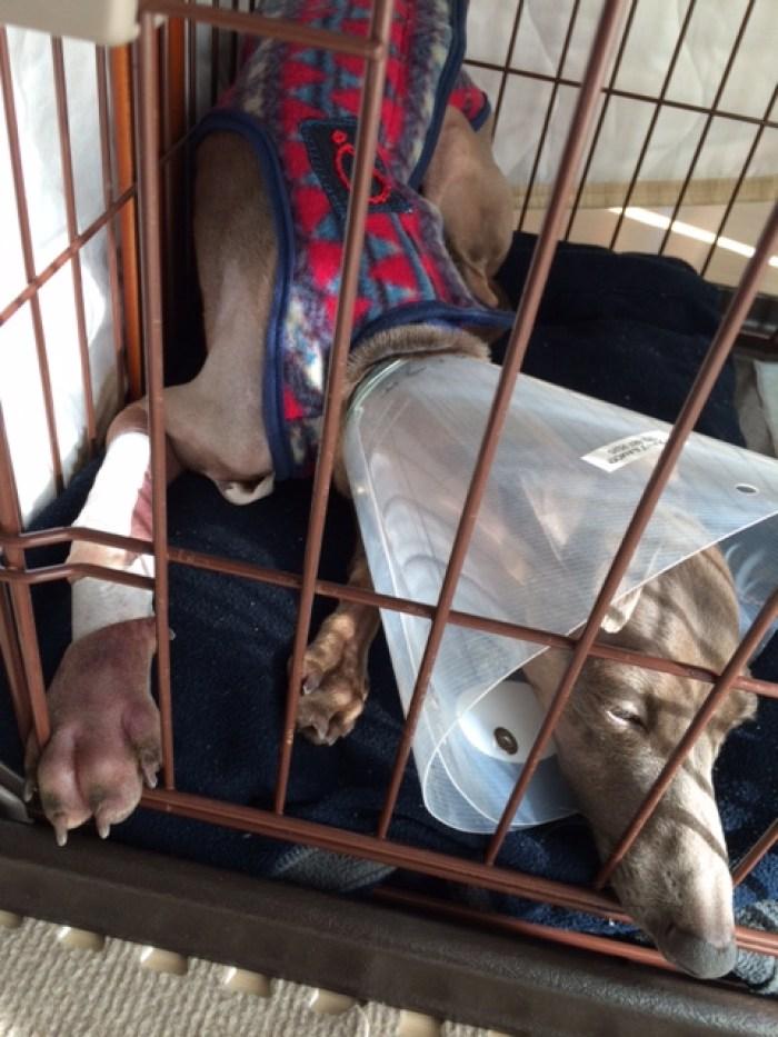 イタグレbuono骨折治療|退院、一泊してお家に帰ってきたよ。
