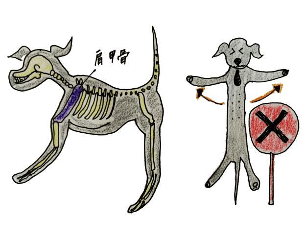 犬には鎖骨がないから抱き方には注意が必要【犬のしつけ・犬の育て方 vol.1】