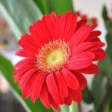 今日の花「ガーベラ」|何とも言えぬ鮮やかな赤色